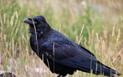 Rantin' & Raven
